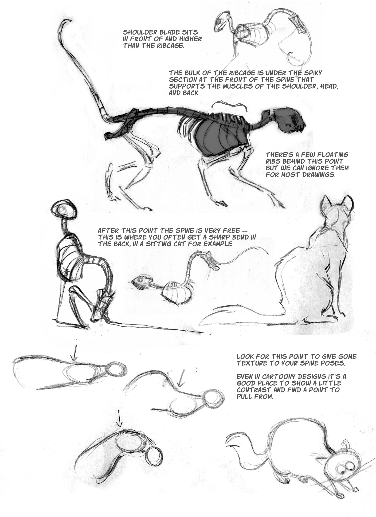 Cat Anatomy Notes The Spine